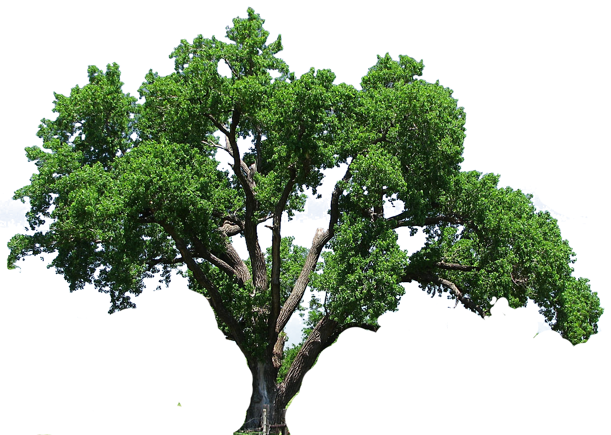Oak tree png. Clipart kid envirmental energy