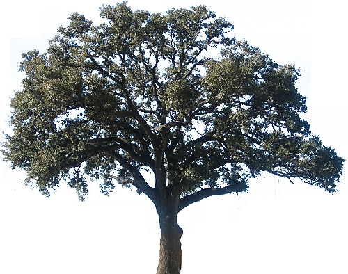 Oak clipart detailed tree. Downloads canyon