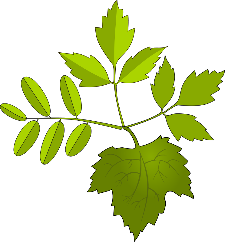 Oak clipart tobacco leaves. Free images download clip