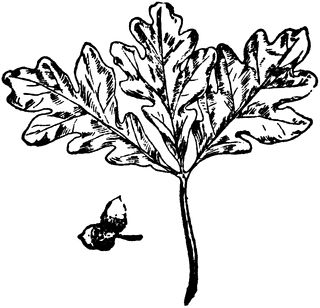 Oak clipart tobacco leaves. The best clip art