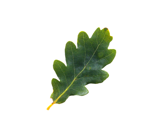 oak leaf png