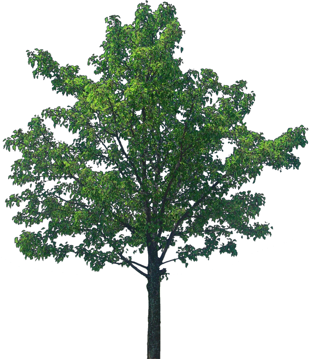 Oak tree png. Transparent image arts