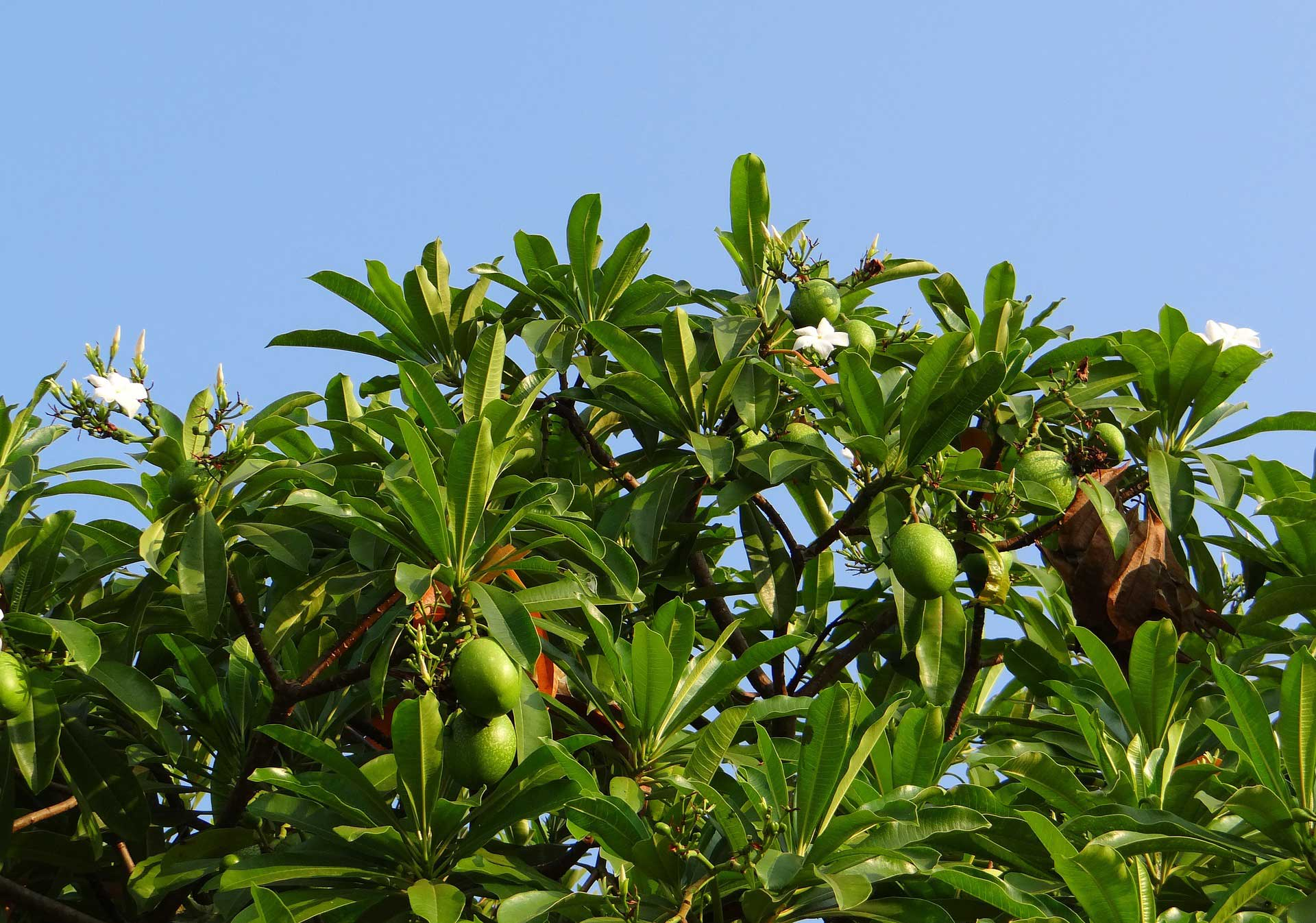Oblong mango. Tree learn about nature