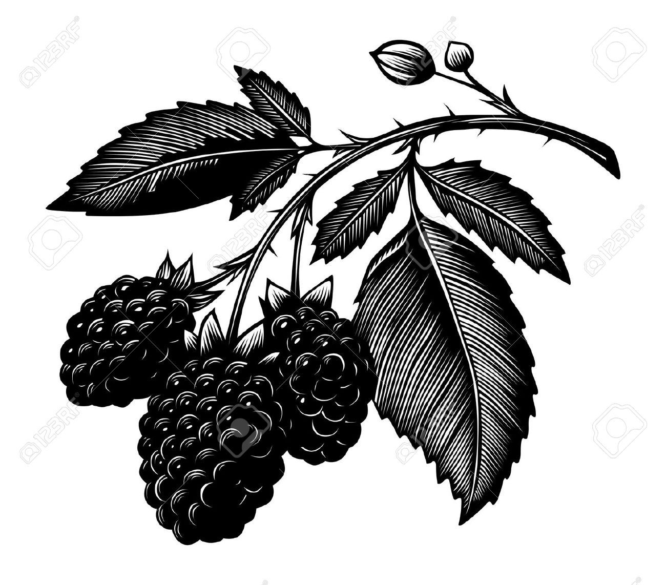 Oblong raspberry. Cliparts stock vector and