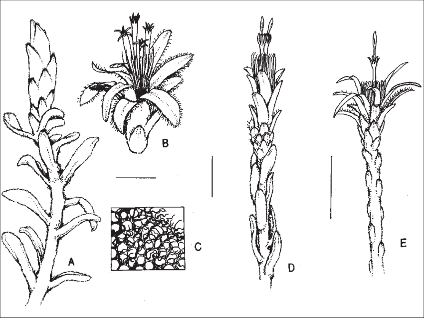 Observation drawing plant. A c cratystylis centralis