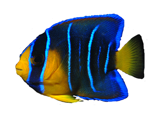 Ocean fish png. Download free transparent image