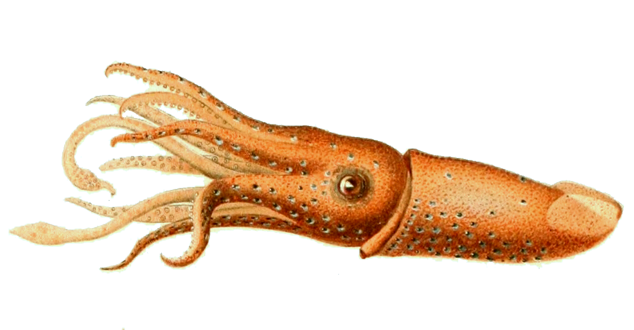 Octopus arms png. Squid facts and information