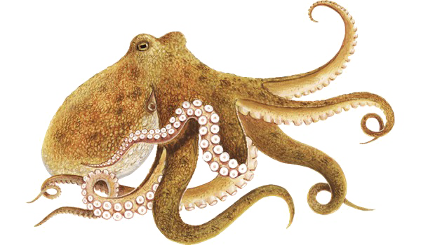 Octopus png. Picture mart