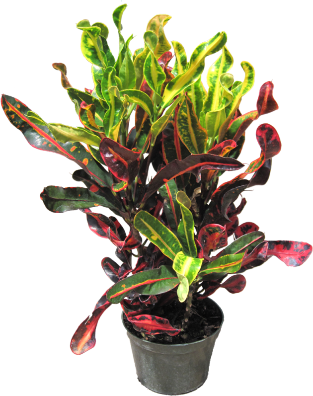Indoor plants png. Download tropical office croton