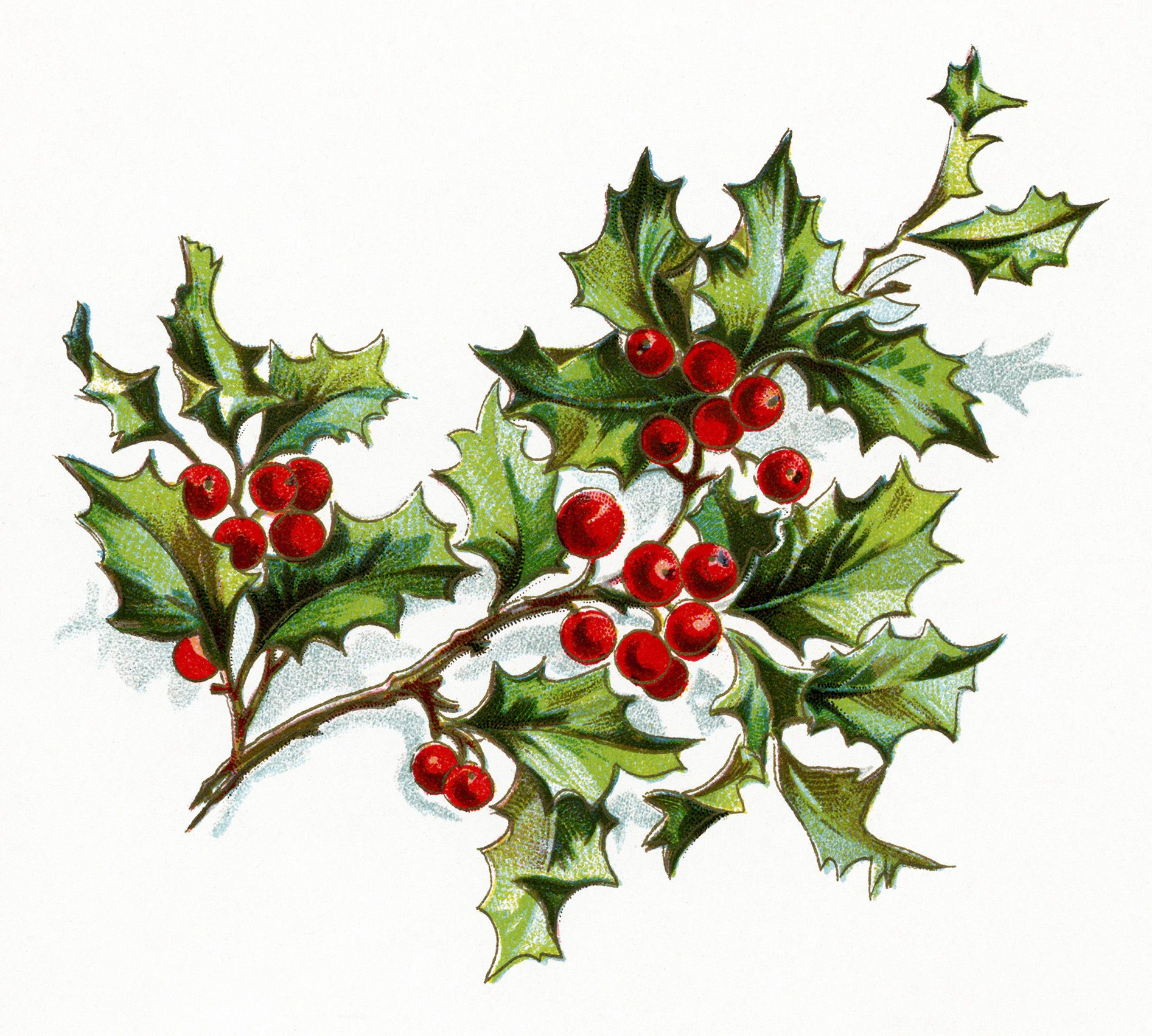 Old clipart christmas. Vintage flower holly and