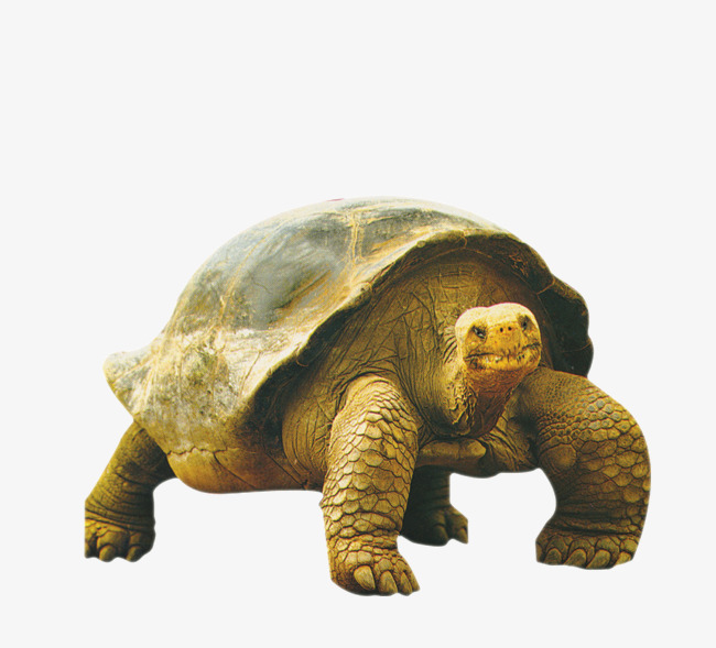 Old clipart old tortoise. Animals animal biological png