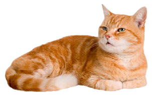 Orange cat png. Images in collection page