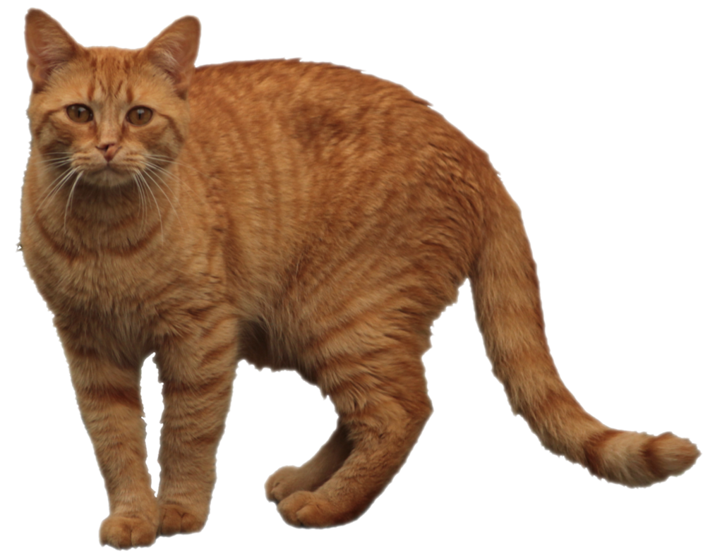 Orange cat png. Tabby by lonermade on
