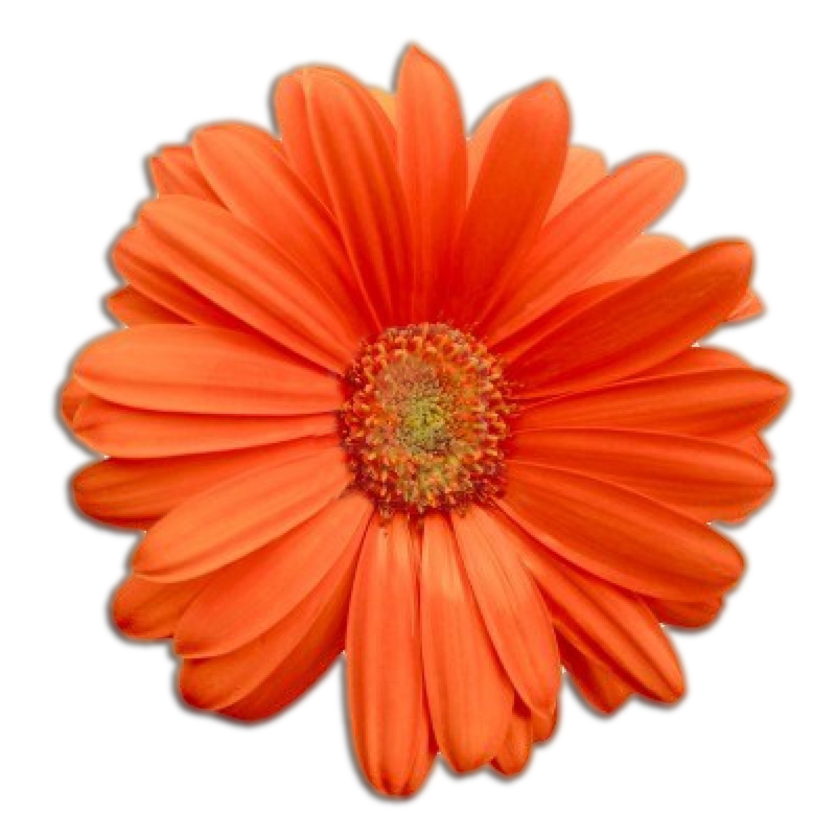 Orange flower png. Free icons and backgrounds