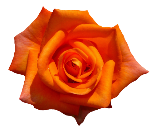 Orange flowers png. Rose flower top view