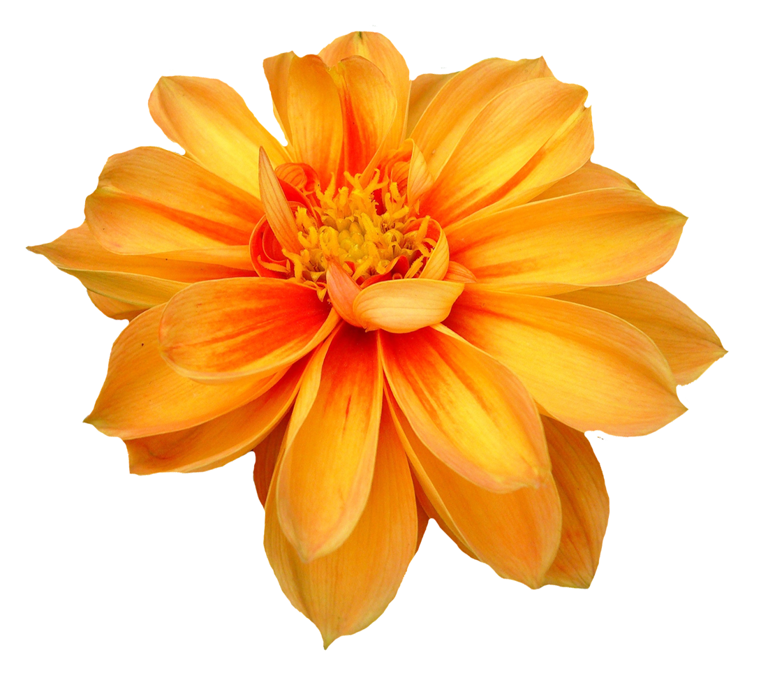 Orange flowers png. Dahlia flower image purepng