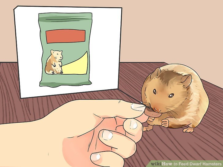 Oranges clipart hamster. How to feed dwarf