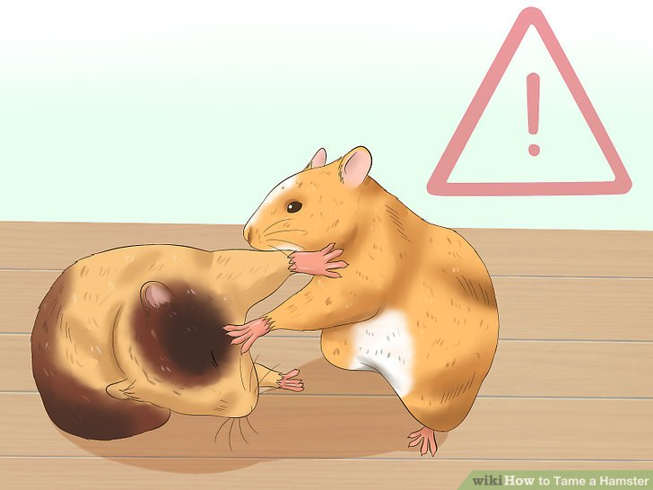 Oranges clipart hamster. How to tame a