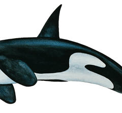 Orca transparent north atlantic. Right whale whales online