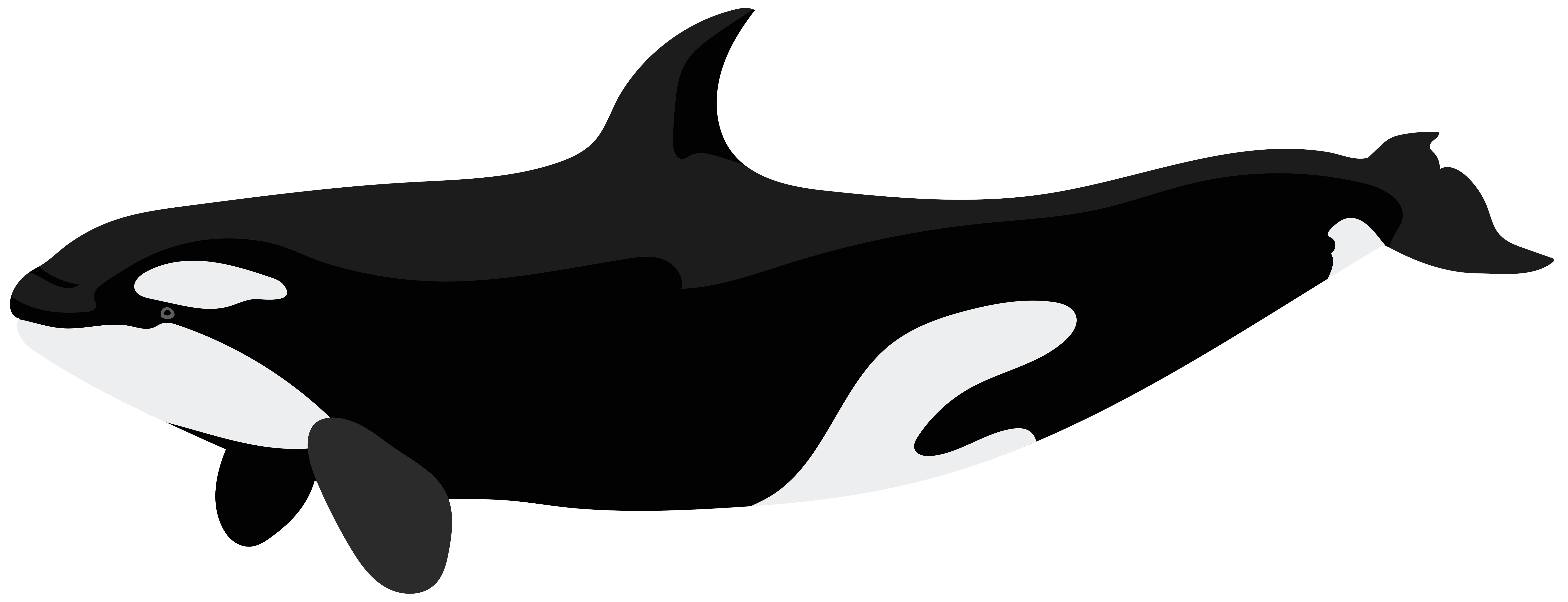 Orca whale png. Killer dolphin clip art