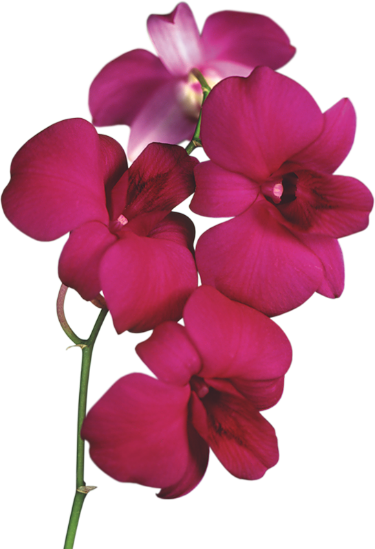 orchid transparent pink