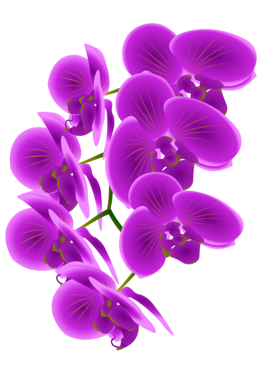 Drawing orchid violet. Orchids phragmipedium green free
