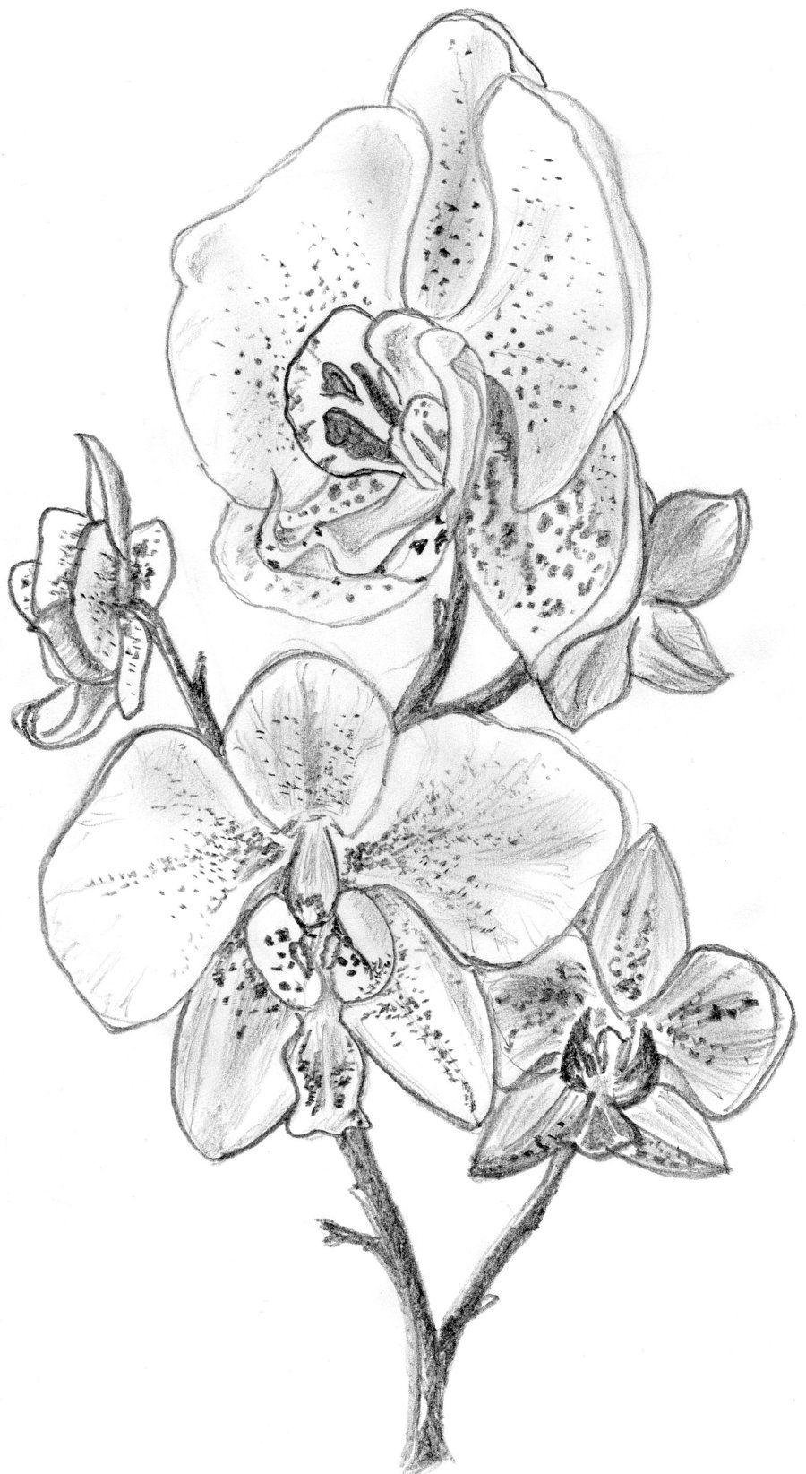 Orchid clipart orchid sketch. Sketches by irongarlic traditional