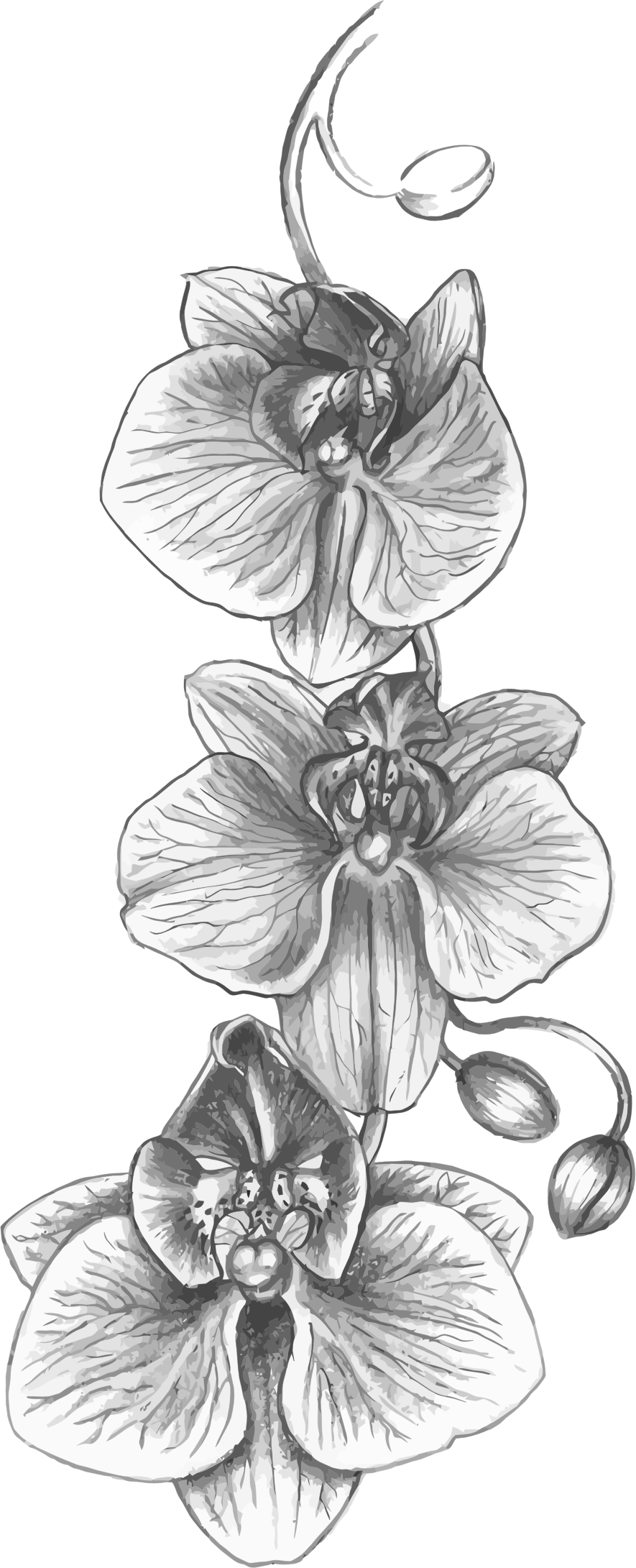 drawing orchid wild