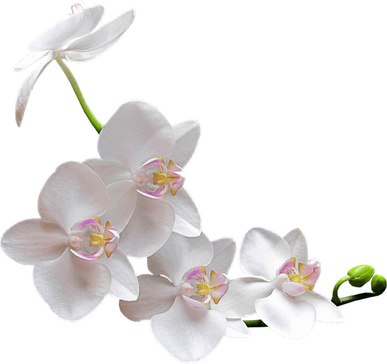 Orchid flower png. White transparent stickpng nature