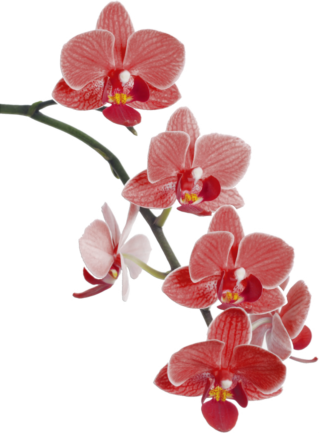 drawing orchid red