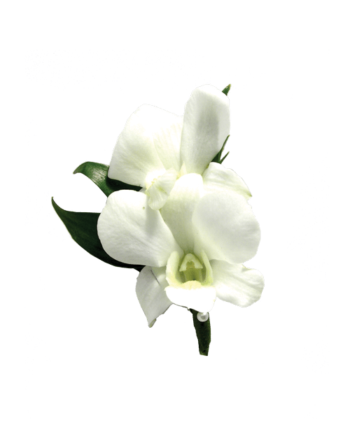 Orchid transparent dendrobium. White boutonniere royer s