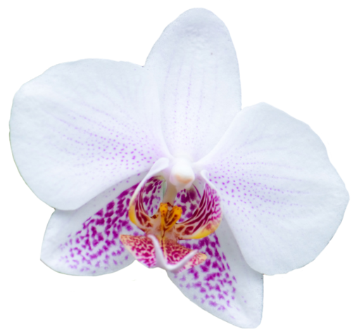 Orchid transparent flower. Flowers white from the