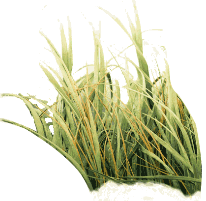 Ornamental grass png. Photo of tall free