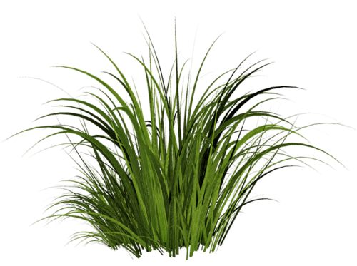 Ornamental grass png. Transparent stickpng