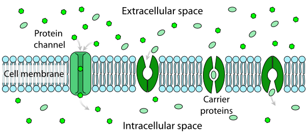 Osmosis drawing cell membrane. Scheme facilitated diffusion in