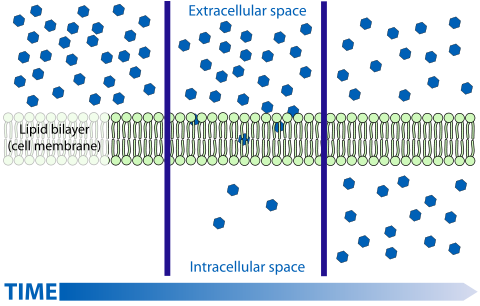 Osmosis drawing cell membrane. Passive transport wikiwand diffusion