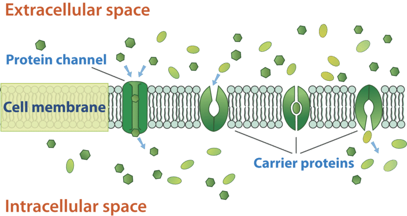 Osmosis drawing cell membrane. Transport and homeostasis