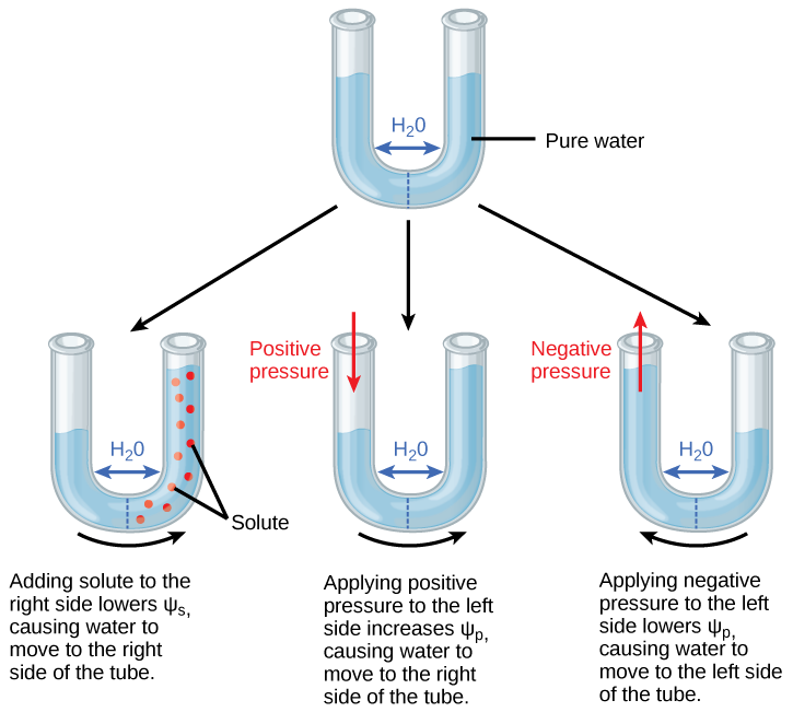 Osmosis drawing semipermeable membrane. Water potential biology for