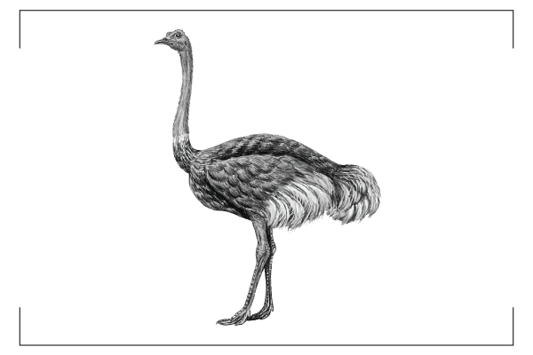 Ostrich clipart tall animal. Home foods about