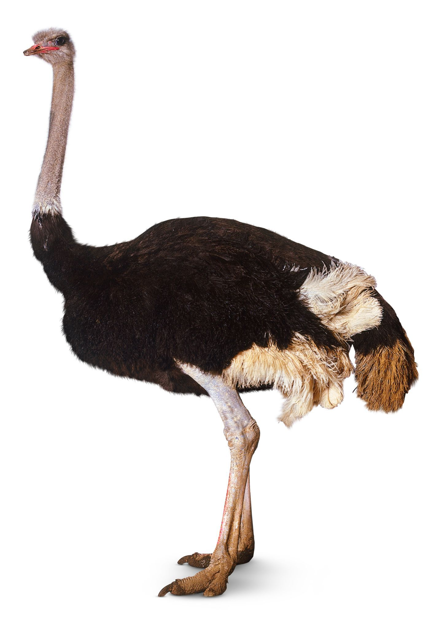 Ostrich clipart tall animal. Google flash pinterest and