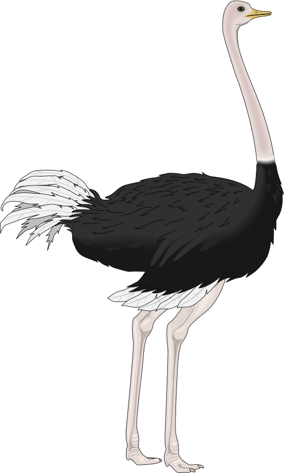 Ostrich clipart white background. Png transparent image mart