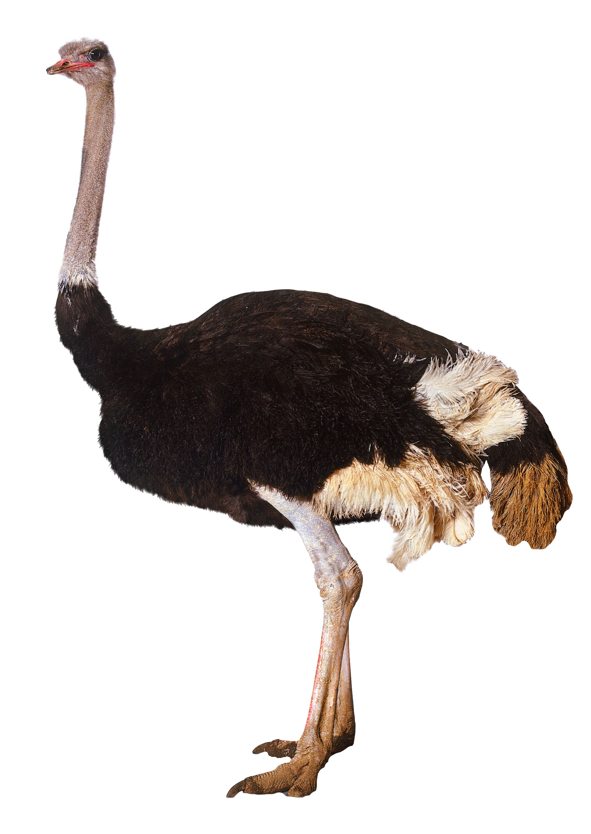 Ostrich clipart white background. Standing png image purepng