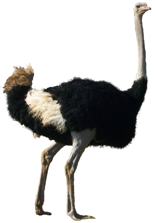 Ostrich clipart white background. Png images transparent free