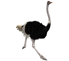 Ostrich clipart white background. Png