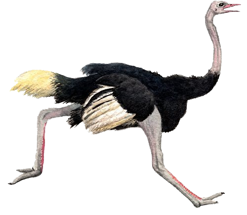 Ostrich legs png. Transparent images all pic
