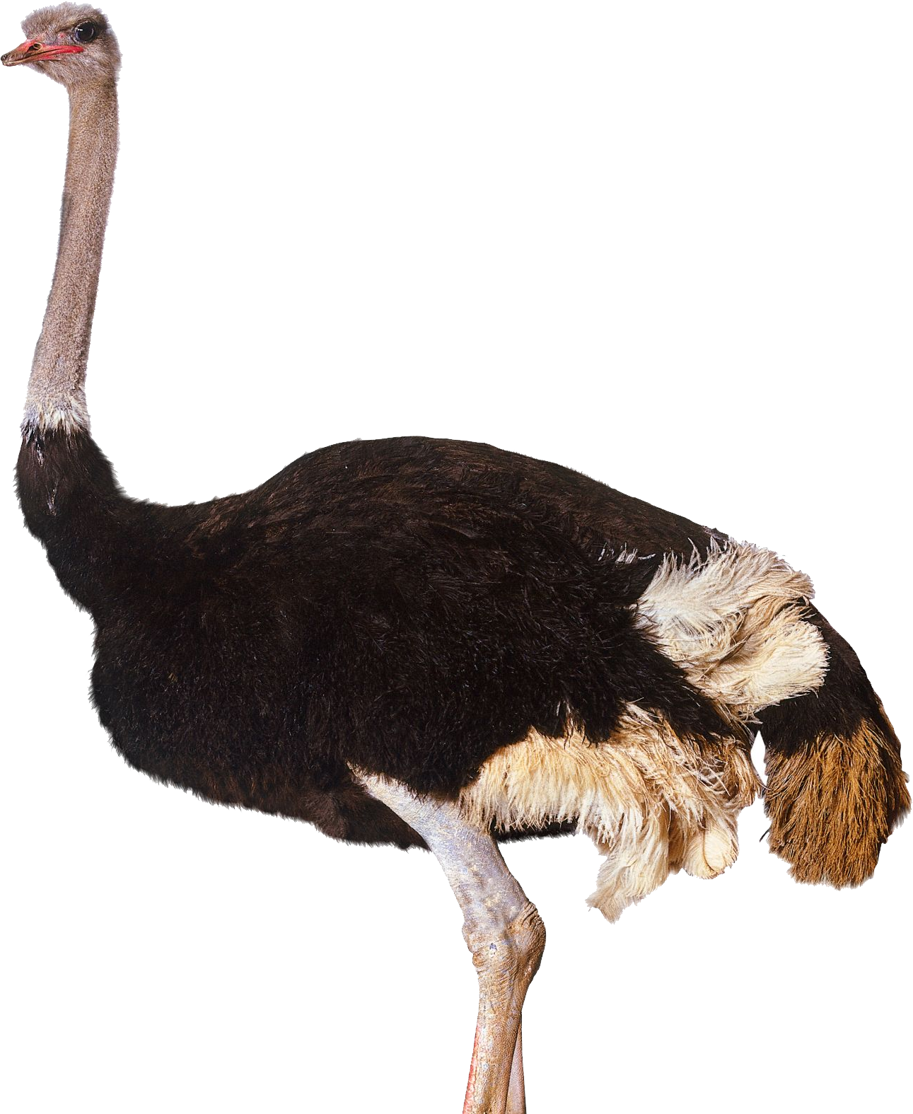 Ostrich legs png. Images free download