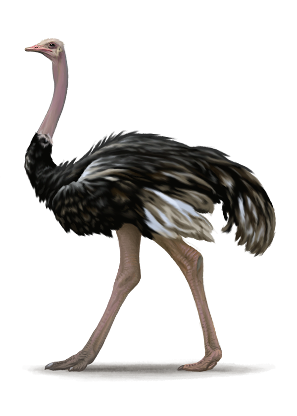 Ostrich legs png. Transparent images all free
