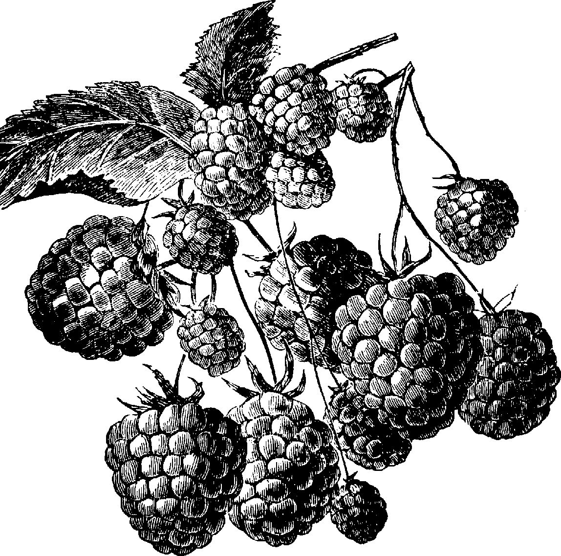 Oval raspberry. Png black and white
