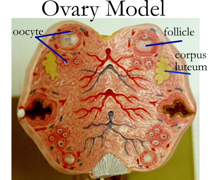 Ovaries drawing anatomical. Ovary model labeled female