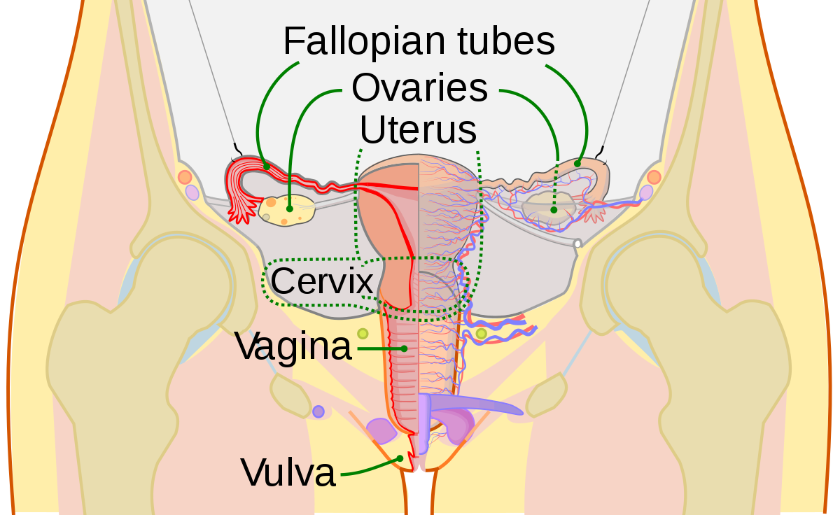 Ovaries drawing normal. Cervix wikipedia